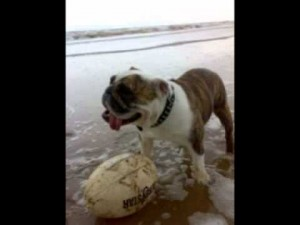 English Bulldog Breed Health Issues