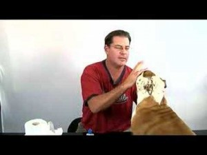 How to Clean Your Bulldog's Eyes and Face Folds