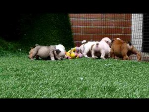 Toys for Bulldog Puppies