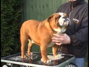 English Bulldog Breed Standards