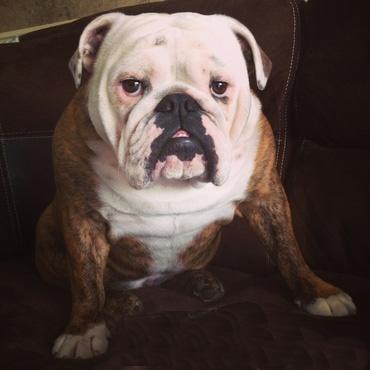 Spanky the Bulldog