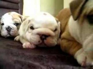 Dominant Bulldog Pup in a Litter