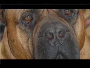 How to Take Care of Your Bull Mastiff