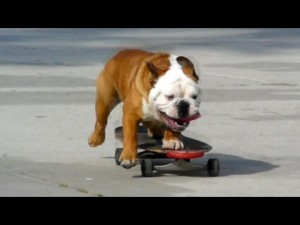 Skateboarding English Bulldog