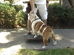 How to Train Your Bulldog to Skateboard - Part 2