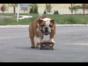 Chief, Another Skateboarding Bulldog