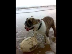 English Bulldog Breed Health Issues