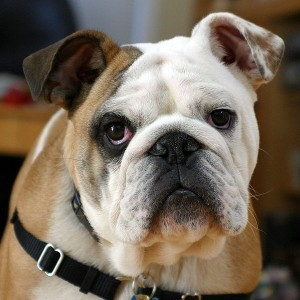 Banned Bulldogs, Clyde the Bulldog