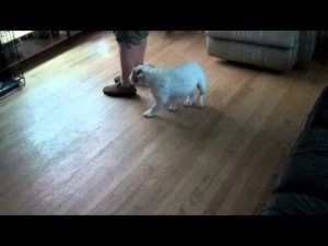 English Bulldog Puppy Training
