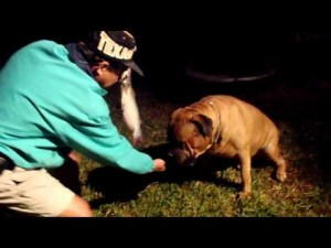 Training a Bullmastiff